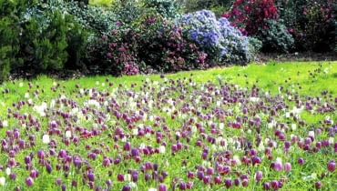 Mieć taki łan szachownicy kostkowatej w ogrodzie to marzenie do spełnienia. Musimy jednak dać kwiatom sporo czasu na rozrastanie. Natomiast w czasie wędrówek po południowo-wschodnich rejonach naszego kraju, jeśli dopisze nam szczęście, zobaczymy je w naturze. Ale uwaga, są pod ochroną!