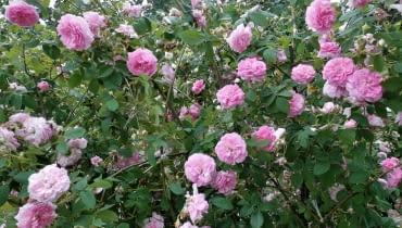 Róża damasceńska Ispahan