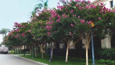 W KRAJACH o ciepłym klimacie kwitnące drzewa lagestremii zdobią ulice i parki.