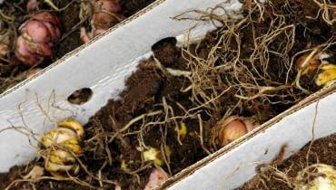 Cebule lilii wrażliwych na mróz (np. z grupy orientalnych)przechowujemy w chłodnym pomieszczeniu. Muszą być przykryte warstwą torfu.