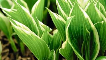 FUNKIĘ z lekko rozwiniętymi liśćmi można jeszcze bezpiecznie przesadzać. Po tym zabiegu trzeba ją obficie podlać.