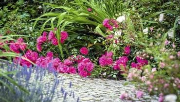 hr-a SLOWA KLUCZOWE: Fairy Flower kwiat kwiaty poziom horizontal lovely róża roza rosa roses lato sumer cocer okrywowe pink różowy rozowy