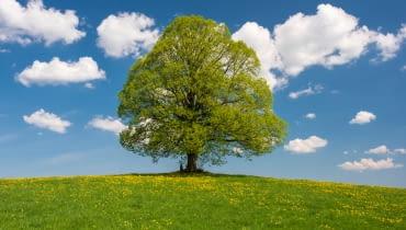 Samotna lipa na łące Już z daleka możemy rozpoznać, że to właśnie lipa. Rozłożyste gałęzie z czasem obniżą się do samej ziemi tworząc zielony parawan tuż przy pniu.