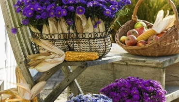Aster dumosus 'Blue Lapis' 'Sapphire' 'Purple Diamond' ( Kissenastern ) mit Zea ( Mais ) in Drahtkorb und Draht´bert^pfen, Korb mit fpfeln und Maiskolben SLOWA KLUCZOWE: 000 Herbst drau?en Topf Terrasse hoch lila Stauden Portr t Arrangement Stuhl ZZZ msgnp08
