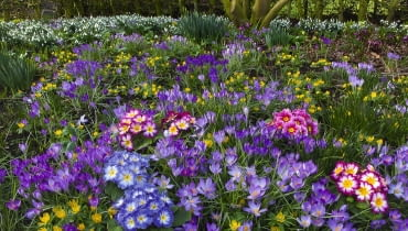 ]Spring Crocus Aconites Polyanthus and snowdrops flowering in Garden Setting Norfolk, February