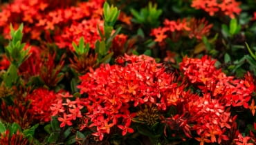 Kwiaty letnie na rabatę w kolorze czerwonym