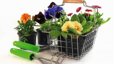 W marcu zaczynamy rozsadę kwiatów balkonowych