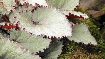 SLOWA KLUCZOWE: EARL OF PEARL begonia