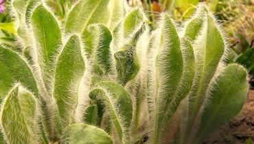 Siwy kolor liści jastrzębca pochodzi od delikatnych włosków pokrywających blaszki. Ta niska roślina rozrasta się dzięki rozłogom.