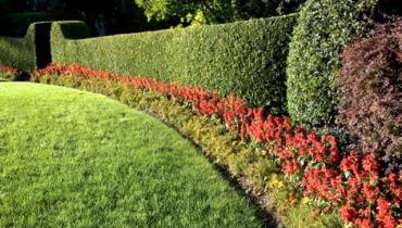 Zielona ściana żywopłotu jest dobrym tłem dla kolorowych kwiatów