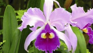 Cattleya orchid (Cattleya trianaei 'B') SLOWA KLUCZOWE: Angiosperm Biologie Blume Blumen Botanik Flora Garten Gartenanlage Gartenbau Natur Orchidee Orchideen Pflanze Winter biologisch blühend botanisch gärtnerisch pink pinkfarben rosa