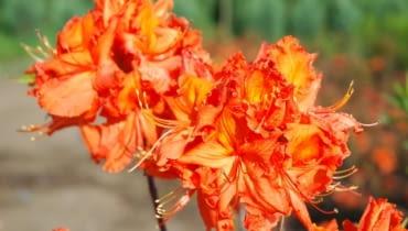 Rhododendron 'Gibraltar', azalia wielkokwiatowa. Krzewy ozdobne