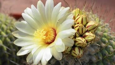 Kaktusy. STROMBOCACTUS DISCIFORMIS to rarytas w domowych kolekcjach.