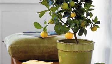 Orangenb umchen SLOWA KLUCZOWE: Apfelsine Apfelsinenbaum Baum Buch Citrus Limette Orange Orangenbaum Pflanze Schale Sch´ssel Topfpflanze Zimmerpflanze Zitrus Zitrusfrucht Hochformat