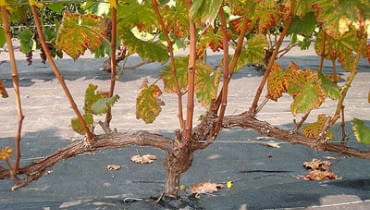 Poziome prowadzenie winorośli ułatwia ochronę przed przemarzaniem