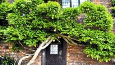 Glicynia (Wisteria) to silne pnącze o wijących się pędach. Osiąga 6-10 m wysokości, dając 1-3 m przyrostu rocznie. Wytwarza dużą masę liści, toteż wymaga mocnych podpór. Okaz na zdjęciu cięty przez wiele lat przybrał formę oryginalnego, przytulonego do muru drzewa.