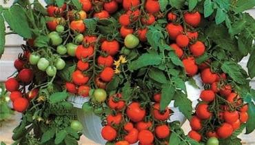 Pomidor karłowy o zwisających pędach, koktajlowy, uprawiany w dużej donicy na balkonie owocuje obficie.