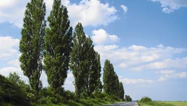 Topola włoska (Populus nigra 'Italica') to popularna odmiana topoli czarnej. Ma wąską koronę, dorasta do 25 m i jest krótkowieczna - dożywa kilkudziesięciu lat.