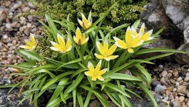 Tulipan późny dorasta do wysokości 15-20 cm.