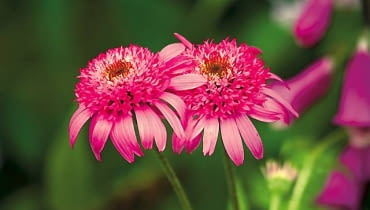Jeżówka purpurowa 'Pink Double'