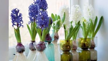 Te specjalne wazony pozwalają na 'pędzenie' hiacyntów ieksponują urodę ich cebul oraz korzeni.