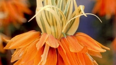 Szachownica Aureomarginata. Kwiaty cebulowe