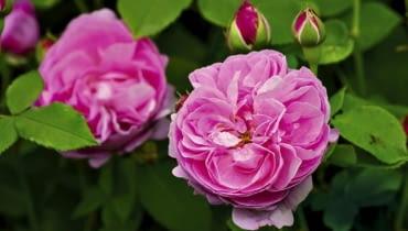Róża portlandzka 'Comte De Chambord'
