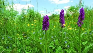 Kukułki na stanowisku naturalnym - ich siedlisko to podmokła łąka i dużo światła
