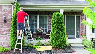 Skrócenie żywotnika o kilkadziesiąt centymetrów nie czyni mu szkody, ale większa ingerencja w kształt drzewa oszpeci je i osłabi.