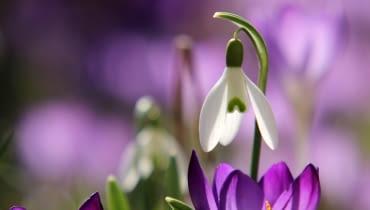 Najwcześniej kwitnące kwiaty cebulowe. Pionierzy wśród kwiatów.