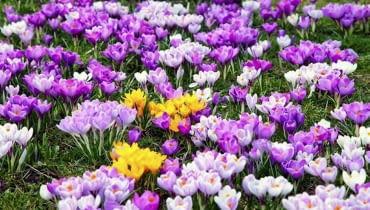 Krokusy na trawniku to piękny początek wiosny. Widok jak w górach. Z koszeniem takiego trawnika trzeba jednak poczekać, aż zżółkną listki krokusów