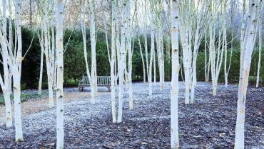 Białe pnie ikonary ozmierzchu inocą wświetle lamp lub księżyca wyglądają niesamowicie, jakby były obleczone białym całunem. Na zdjęciu odmiana 'Grayswood Ghost'. Drzewa robią największe wrażenie, gdy rosną wgrupie jako mały zagajnik lub tworzą szpaler biegnący np. wzdłuż żywopłotu.