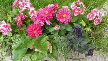 Spokojny romantyzm - różowa pelargonia idalia, granatowy heliotrop, biała bakopa iniebieska lobelia.