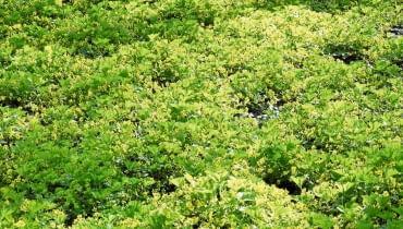 Zielony kobierzec nakrapiany żółtymi plamkami kwiatów pragni syberyjskiej.