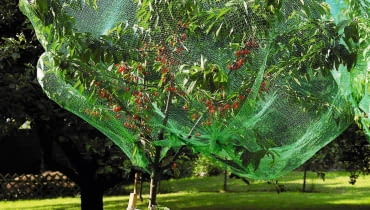 Germany, View of cherry tree covered with net