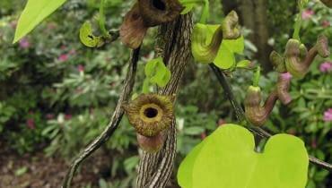 Aristolochia macrophylla SLOWA KLUCZOWE: pnącza inne
