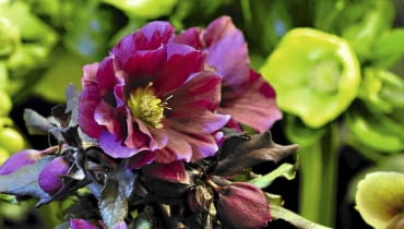 Ciemiernik 'Double Queen Purple'