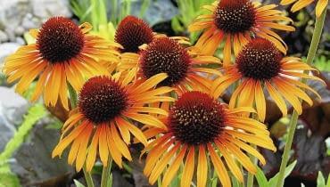 JEŻÓWKA PURPUROWA 'FLAME THROWER' tworzy mocno pachnące kwiaty o płomiennych barwach. Osiągają średnicę 10 cm. Dorasta do niemal metrowej wysokości i silnie się krzewi