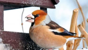 WYRAZISTE KOLORY, POTĘŻNY DZIÓB, krępa sylwetka - grubodziób to jeden z najefektowniejszych ptaków, jakie zimą odwiedzają nasze karmniki.