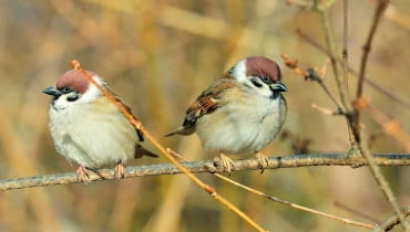 Mazurkom i innym skrzydlatym gościom stołówek należy się uważnie przyglądać. Jeśli są chore, izolujmy od nich nasze ptaki w gospodarstwie.
