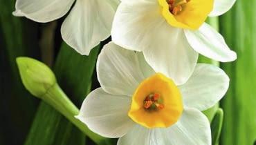 Narcyzy, kwiaty cebulowe. Narcyzy posadzone wiosną zakwitną latem