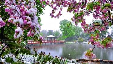 Pogoda wiosną sprawia czasem niespodzianki. Tu spóźniony śnieg obsypał kwitnące pędy wiśni.