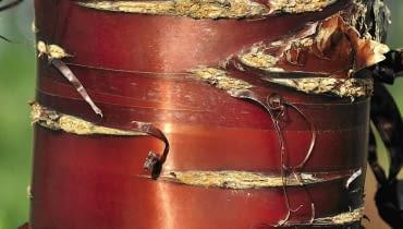 WIŚNIE I ŚLIWY (Prunus) lśnią brunatnoczerwoną korą z poziomymi deseniami. Na starych pniach kora pęka i łuszczy się pasmami.