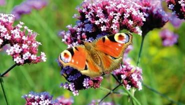 Werbena patagońska ma kilka podobnych odmian, także karłowych. Ich drobne kwiatki są obfitym źródłem pokarmu dla motyli i innych owadów.