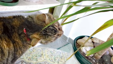 Czy dracena zaszkodzi kotu?