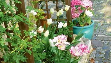 Tulipany, bratki i hortensje w pojemnikach witają gości już od progu.