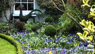 Crocus tommasinianus, Eranthis hyemalis, Leucojum vernum, and Hamamelis x intermedia 'Jelena' in winter border with Buxus- Box lawn edging. The Crossing House, Shepreth, Cambridge SLOWA KLUCZOWE: selective focus pale white bright purple yellow mauve flowers plant combinations winter drifts colourful flowerbeds beds borders Mixed Planting