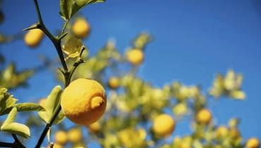 Należąca do rodzaju poncyria pomarańcza trójlistkowa (Poncyrius trifoliata) znosi lekkie zimy i może rosnąć w gruncie w najcieplejszych rejonach kraju.