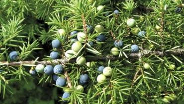 Jagody jałowca pospolitego dojrzewają w ciągu dwóch, trzech lat i nabierają granatowoczarnej, przydymionej barwy