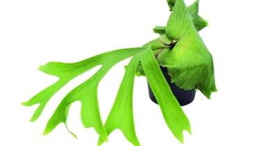 Paproć łosie rogi często oplata doniczkę kilkoma warstwami szerokich liści okrywowych.